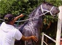 Baño del caballo frisón