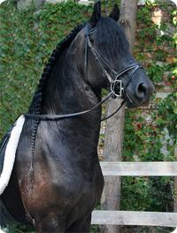 Crin del caballo frisón
